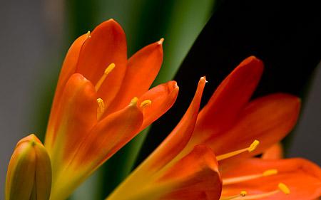Blommande Clivia