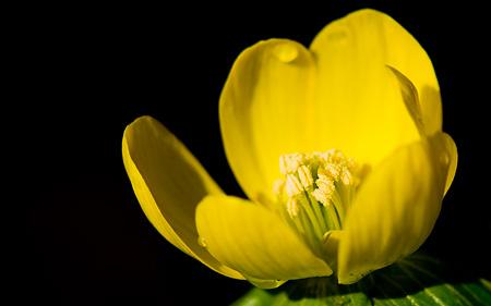 Vintergäcken blommar