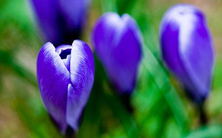 Snart blommar krokusen