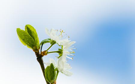 Plommonträdet blommar