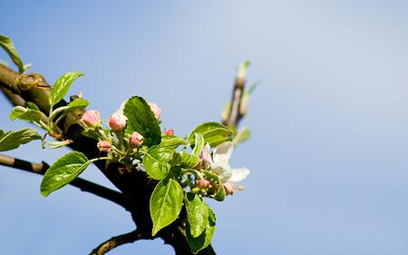 Äppleträdet blommar